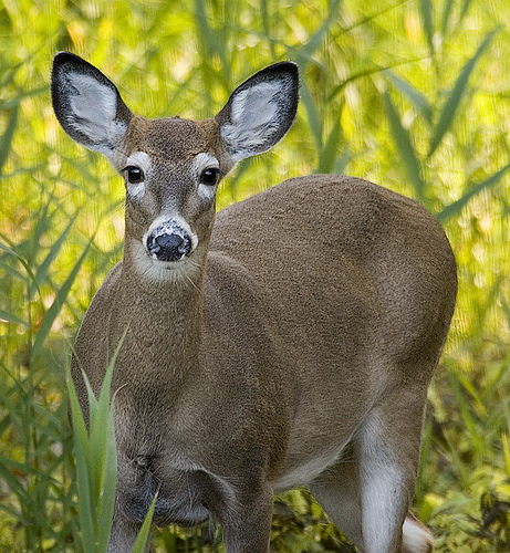 whitetail-deer-management-harvest-rates-1209-01